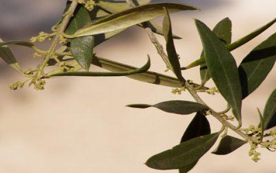 Cómo realizar el muestreo de las hojas de olivo